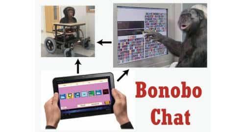 Bonobo Chat