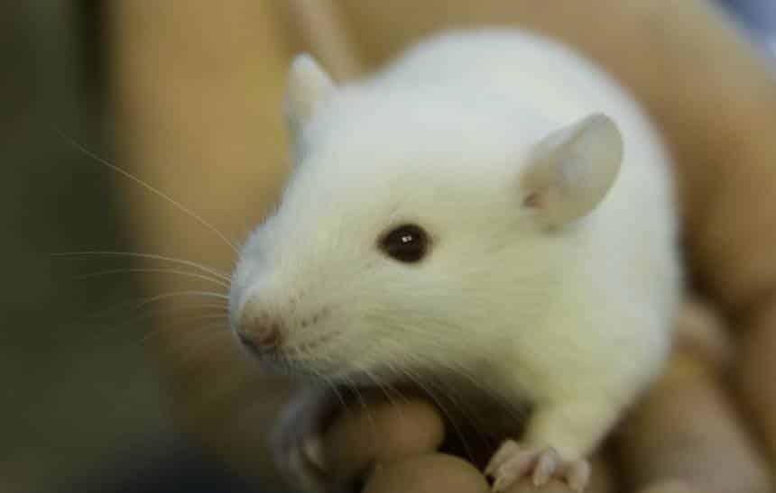 Cientistas conseguem restaurar memórias de um camundongo com Alzheimer