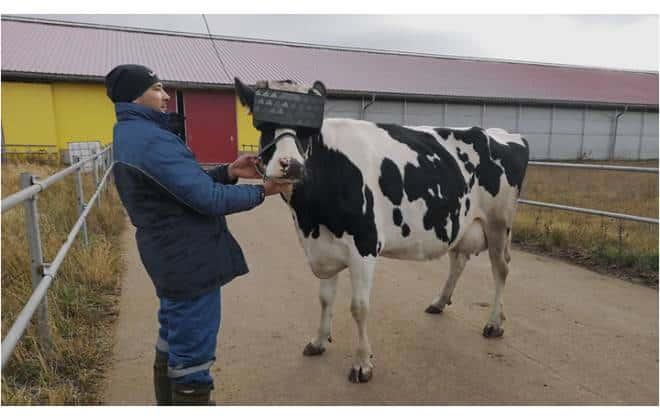 Vacas russas usam óculos de realidade virtual para aumentar produção de leite 2
