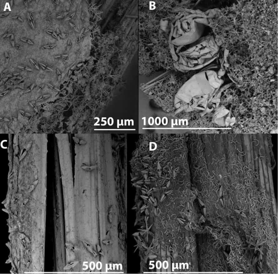 Tipos de esponjas carnívoras em imagens microscópicas